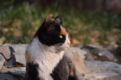A stray cat Royalty Free Stock Images