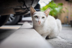 Stray cat sitting behind car Stock Photography