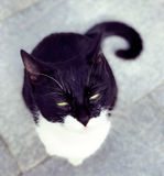 Stray cat staring. A cute stray black and white cat staring on the ground in Shanghai China Royalty Free Stock Image