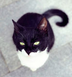 Stray cat staring. A cute stray black and white cat staring on the ground in Shanghai China Royalty Free Stock Images
