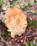 Stray cat staring. A cute stray orange cat staring on the ground in Shanghai China Stock Photo
