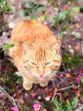 Stray cat staring Royalty Free Stock Images