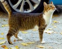 Stray cat. A tabby stray cat on the street Stock Photo