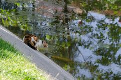Stray cat thirsty and it drinks water from the creek. stock photo