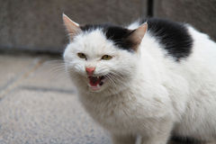 Stray cat threatening. Stray cat shows threatening expression Stock Images