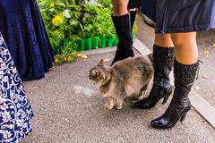 Stray cat walks. Stray fluffy cat walks near the people Royalty Free Stock Photos