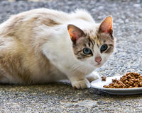 Wary stray cat. Stray cat watchfully approaching food put out on saucer Stock Image