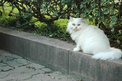 Stray Cat. A stray white Persian cat looking at camera in a garden Royalty Free Stock Image