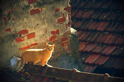 Stray Cat. Stray yellow cat on rooftops of old houses stock image