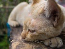 Stray Cat Yellow White Striped Head Notch Sleeping. The Stray Cat Yellow White Striped Head Notch Sleeping Royalty Free Stock Image