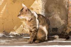 Stray cats in the alleys of Ortigia, Siracusa, Sicily, Italy. Stray tabby cat against a wall of the same color in the alleys of Ortigia, Siracusa, Sicily, Italy Royalty Free Stock Image