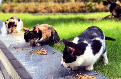 Stray cats eating cat food Royalty Free Stock Image