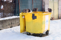 Stray Cats on Garbage Container in the Winter Stock Images