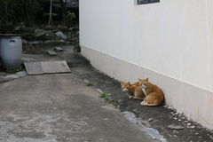 Stray cats. Ginger cats. Staring next to white wall Stock Photography