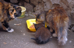 Stray cats and kitten eating Stock Images