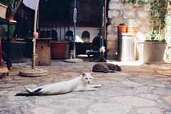 Stray cats lay on street in Dubrovnik. Skinny sad lonely white dirty stray cat lays sprawled on cobbled floor, lazy and sleepy in morning sun, in old european Royalty Free Stock Image