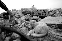 Stray cats. Living on the outskirts of the cite.B&W Royalty Free Stock Photo