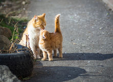 Stray cats. Stock Photography