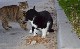 Stray cats rivals for food Royalty Free Stock Image