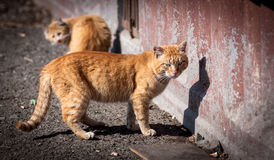 Stray cats. Royalty Free Stock Photo