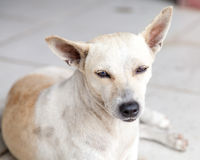Stray Cream and Brown Mongrel Dog Resting on Tiles Royalty Free Stock Photos