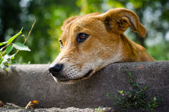 Stray dog ​​with sad eyes Royalty Free Stock Photography