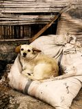 The Stray Dog. A stray dog finds comfort on some bags full of hay Royalty Free Stock Photo