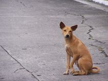 Stray Dog. A stray dog in the middle of the street Stock Image