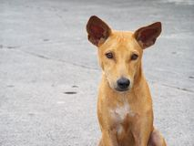Stray Dog. A stray dog in the middle of the street Royalty Free Stock Images