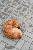 Stray Dog. Lying on the pavement Stock Images