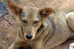 Stray Dog. In Africa stock photography
