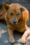 Stray Dog. A sad looking brown stray dog Stock Photo