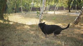 Disabled black dog at animal shelter stock video footage