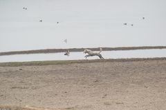 Stray Dog Attacking Wetland Birds in a Lake. By running behind them , Ducks are also seen in the lake royalty free stock images