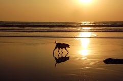 Stray Dog On The Beach. Stray dog on the golden beach of the Inian ocean at sunset Stock Photo