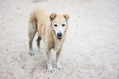 Stray dog on beach Stock Images