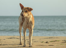 Stray dog on the beach Stock Image