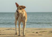 Stray dog on the beach stock image