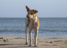 Stray dog on the beach Stock Images