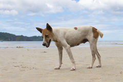 Stray Dog at beach Royalty Free Stock Photography
