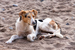 Stray dog on the beach, lying in sand Stock Photography