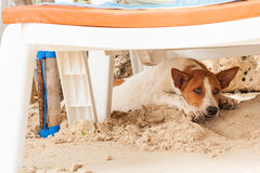 Stray dog on the beach, lying under sun beds in sand, hiding from sun, heat Royalty Free Stock Photos