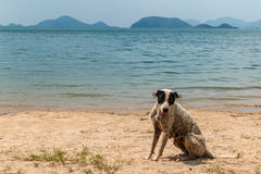 A stray dog on the beach. Near Sea Turtle Conservation Center Stock Photography