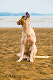Stray dog on the beach. Stray dog is sitting on the beach Royalty Free Stock Images