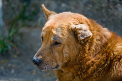 Stray dog with bent ear. A stray dog with dirty fur and a bent ear in Guatemala stock image