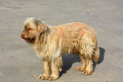 Stray dog. Big dirty and  sad stray dog in the streets of Cyprus Royalty Free Stock Image