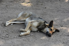 Stray dog. Big  sad stray dog resting in the dirt Royalty Free Stock Images