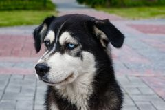 Stray dog breed husky with blue eyes black and white sitting on the pavement royalty free stock images