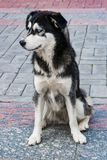 Stray dog breed husky with blue eyes black and white sitting on the pavement stock photos