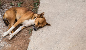 Stray dog. Brown and white homeless dog sleeping happily on the road royalty free stock images